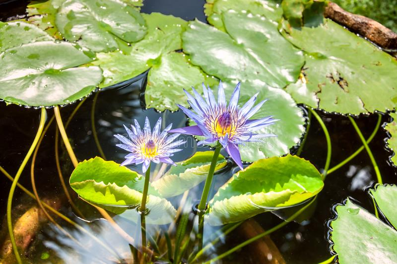 Näckros lotusblommadamm i solig dag royaltyfria bilder