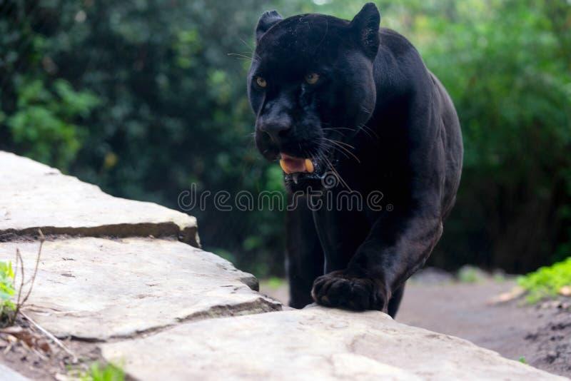 Nähern des schwarzen Panthers lizenzfreies stockbild