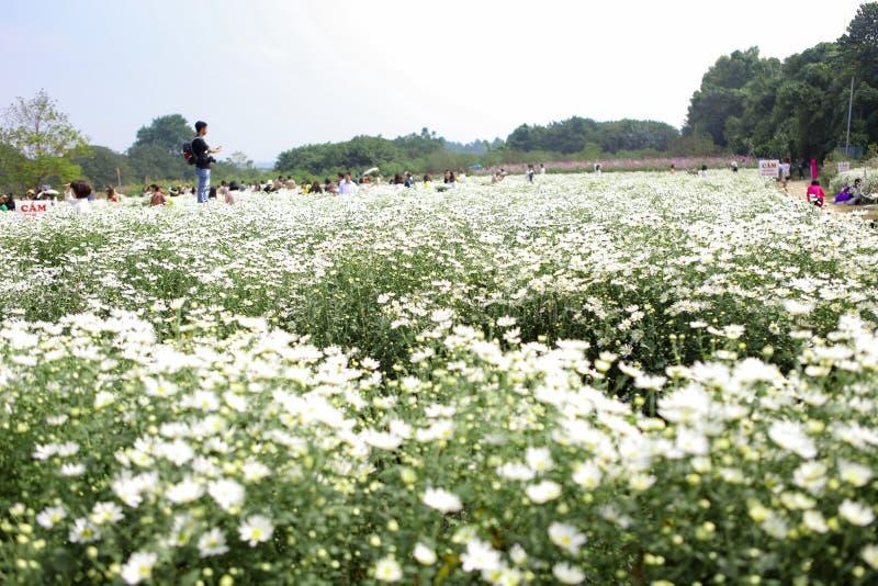 Näktergaltusenskönablomma i den Hanoi gatan Det blomstrar endast en enkel säsong i mycket kort tid i sena November arkivfoton
