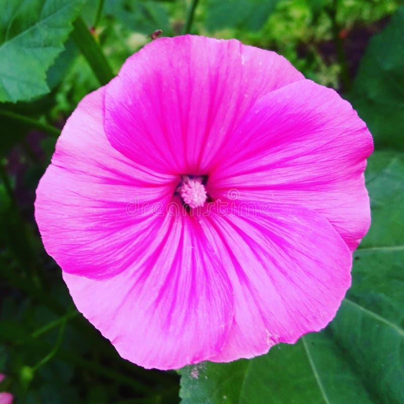 När drömmar är så mjuka och rosa! fotografering för bildbyråer