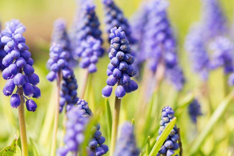 När du blommar den blåa primulan blommar muscarien fotografering för bildbyråer