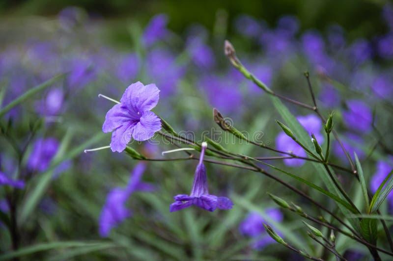 När du blomstrar ruelliabrittoniana blommar closeupen royaltyfri bild