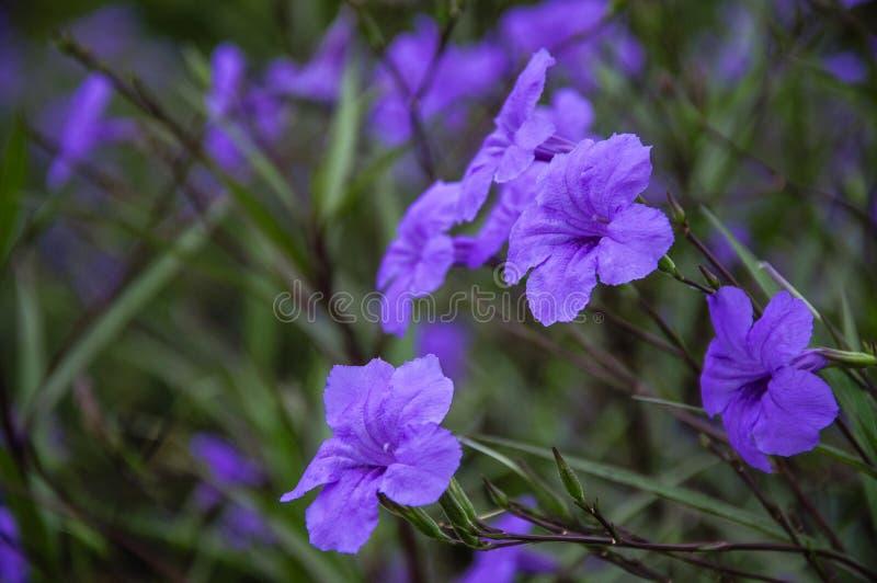 När du blomstrar ruelliabrittoniana blommar closeupen arkivfoton