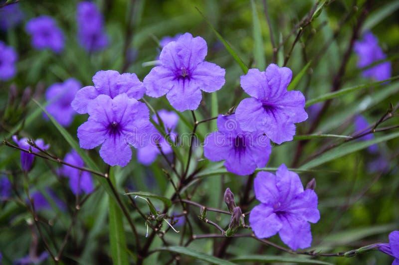 När du blomstrar ruelliabrittoniana blommar closeupen royaltyfria foton