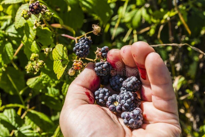 När fingrar för blåbärfruktplockning får smutsiga med fruktsaften royaltyfri foto