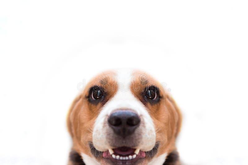 Nära övre beaglehund på den vita isolerade bakgrunden Djurt och royaltyfri fotografi