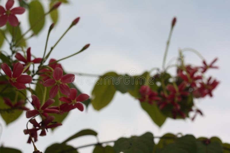 Nära övre bild av bedöva härliga kinesiska blommor för en kaprifol royaltyfri foto
