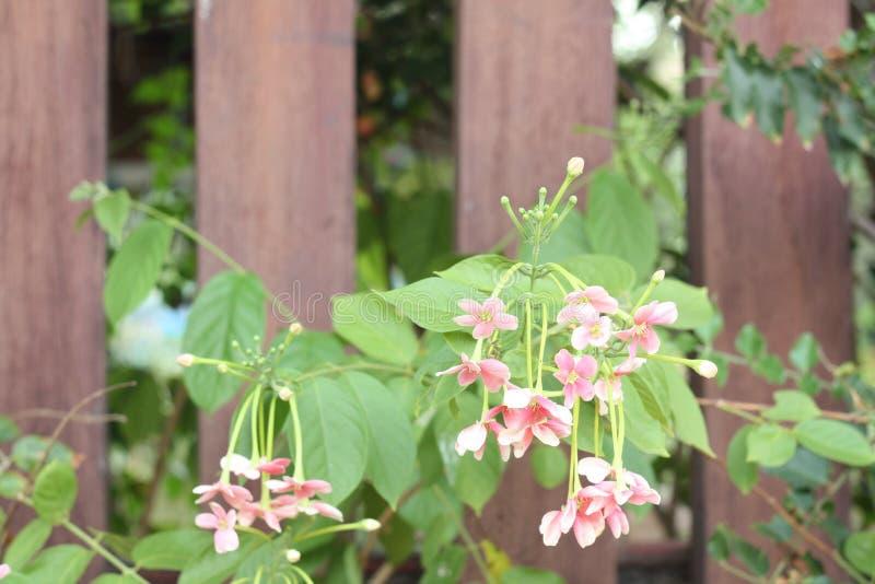 Nära övre bild av bedöva härliga kinesiska blommor för en kaprifol royaltyfri bild