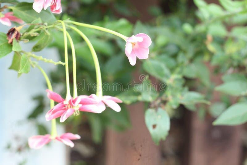 Nära övre bild av bedöva härliga kinesiska blommor för en kaprifol fotografering för bildbyråer