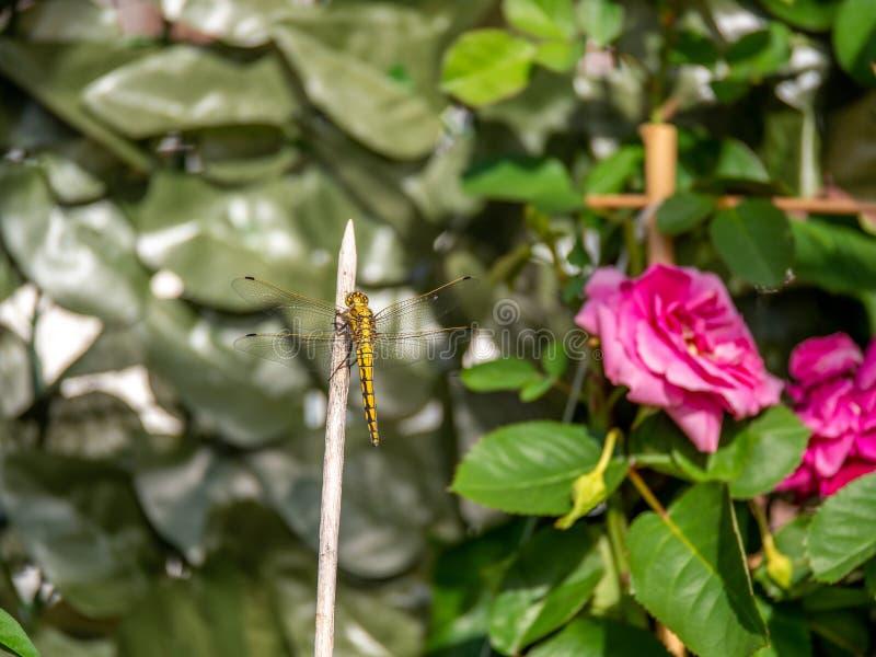 Nära övre bild av den härliga gula drakeflugan royaltyfri bild