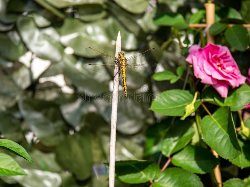 Nära övre bild av den härliga gula drakeflugan royaltyfria foton