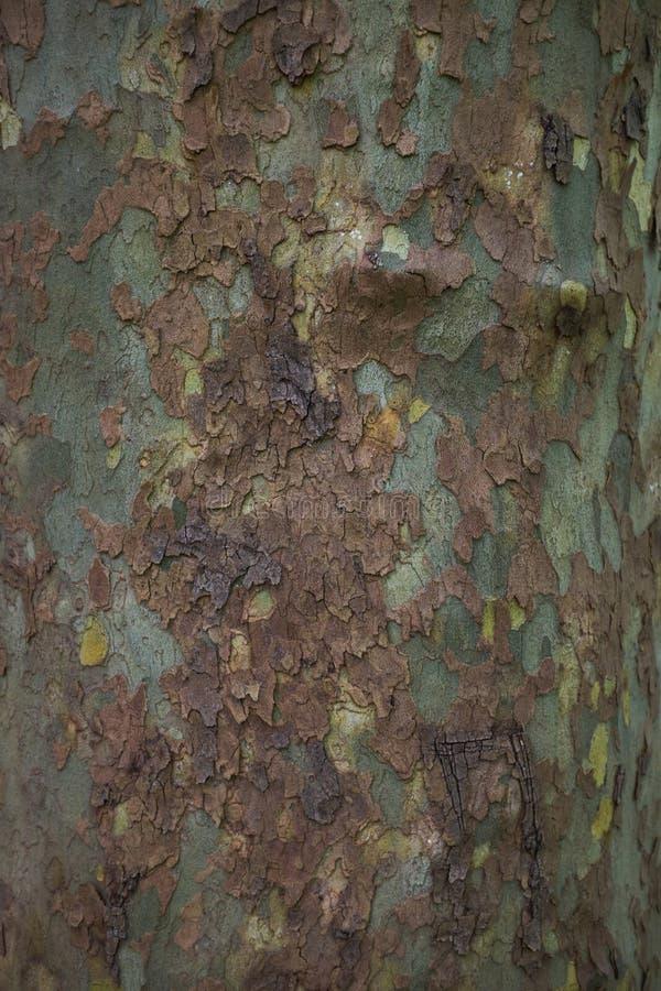 Nära övre bild av det fläckiga sykomorträdskället för bakgrund royaltyfri bild