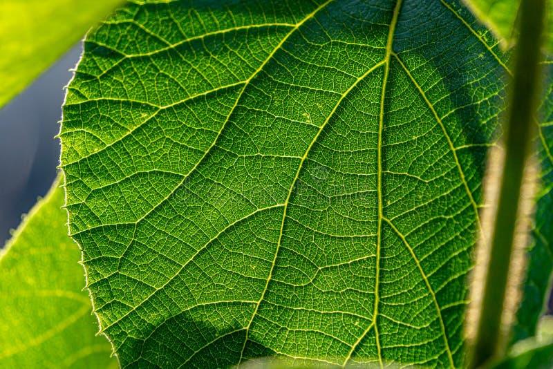 Nära övre bild av det gröna bladet med solig bakgrund royaltyfri foto