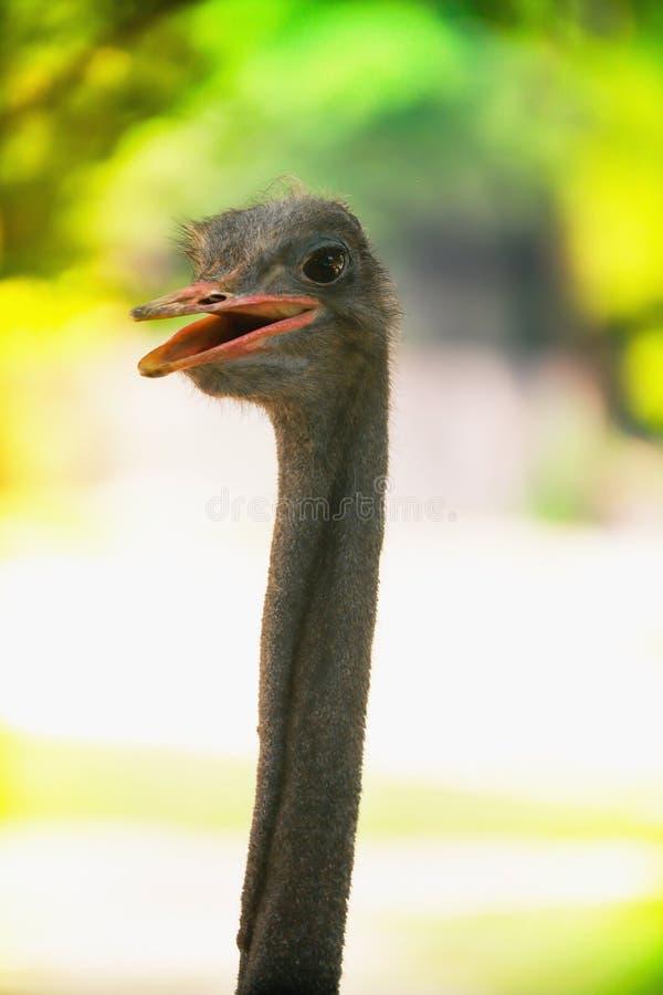Nära övre bild av ett le huvud för bästa sikt för camelus för strutsfågelStruthio royaltyfri fotografi