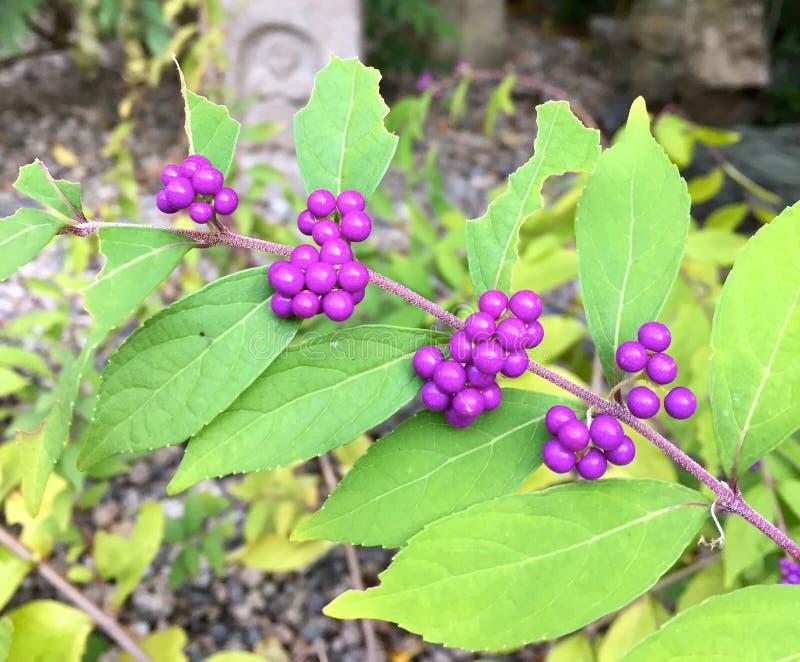 Nära övre bild av fjärilsBush frukter Buddleja av den växt- trädgården av Kobe royaltyfria bilder