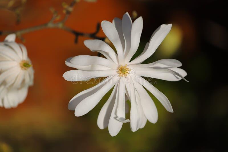Nära övre detalj av en blomma för stjärnamagnolia fotografering för bildbyråer