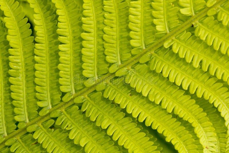 Nära övre detalj av ett nytt ormbunkeblad som växer i en formell trädgård fotografering för bildbyråer