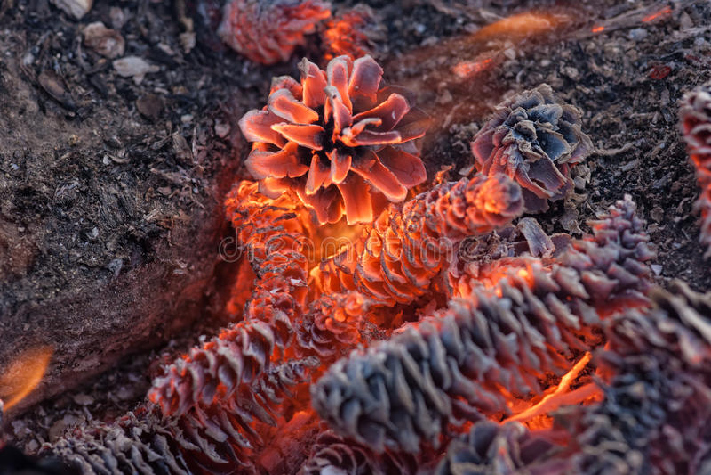 Nära övre för brinns kottar royaltyfria bilder