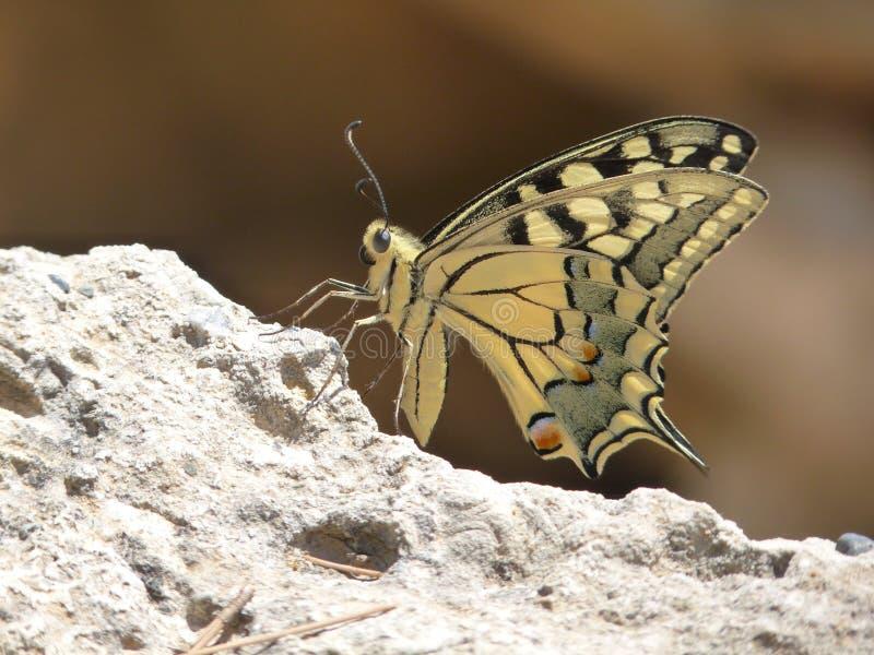 Nära övre för fjäril royaltyfri foto