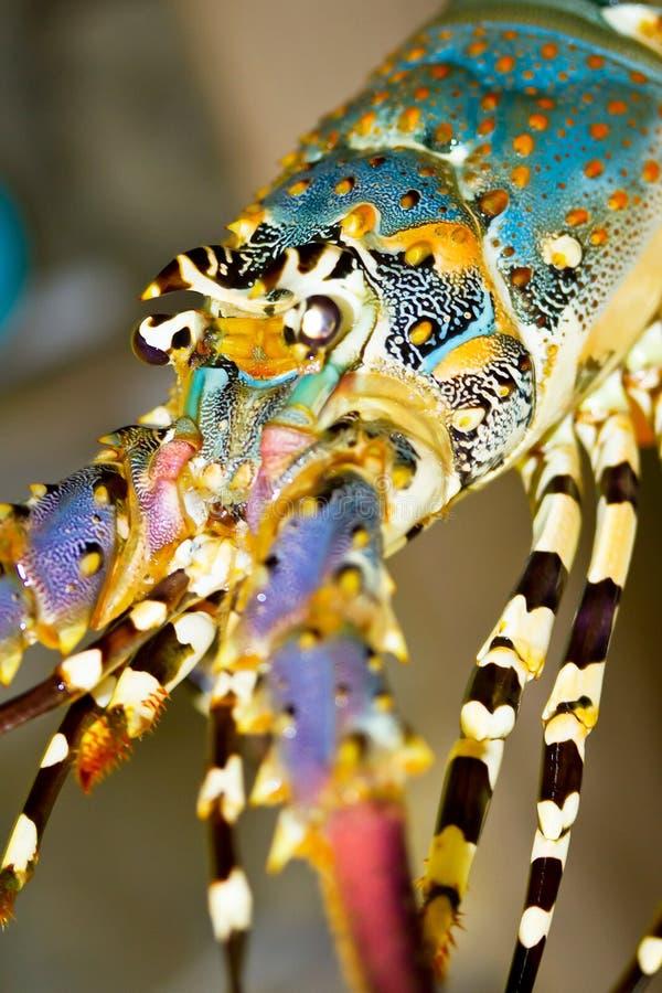 Nära övre för Spiny hummer fotografering för bildbyråer