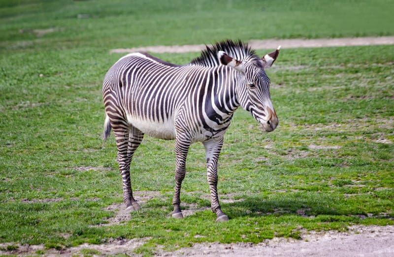 N?ra ?vre foto av Chapman' s-sebraanseende p? gr?nt gr?s, equusquaggachapmani Det ?r naturlig bakgrund eller tapeten med royaltyfria bilder