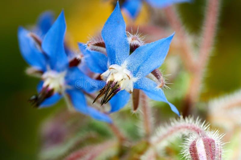 Nära övre foto av den lösa boragen, Boragoofficinalis, blommor i ett vårfält royaltyfria foton