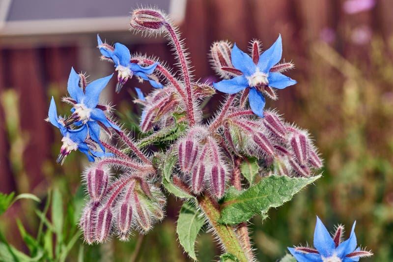 Nära övre foto av den lösa boragen, Boragoofficinalis, blommor i ett vårfält fotografering för bildbyråer