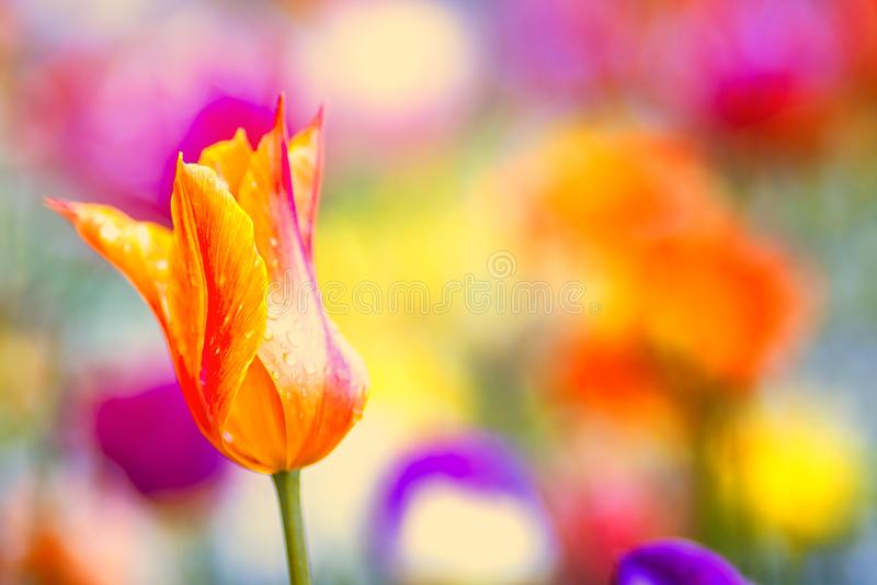 Nära övre foto av den orange och röda tulpan, makroskott av knoppen i trädgård Det ?r h?rlig gjord suddig naturbakgrund med blomm arkivbilder
