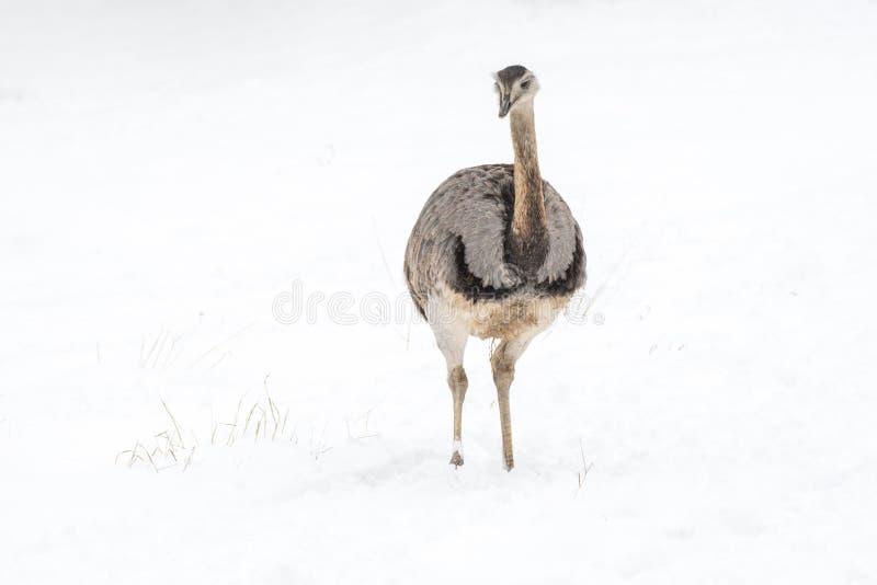 Nära övre foto av gemensamma emuDromaiusnovaehollandiae arkivfoton