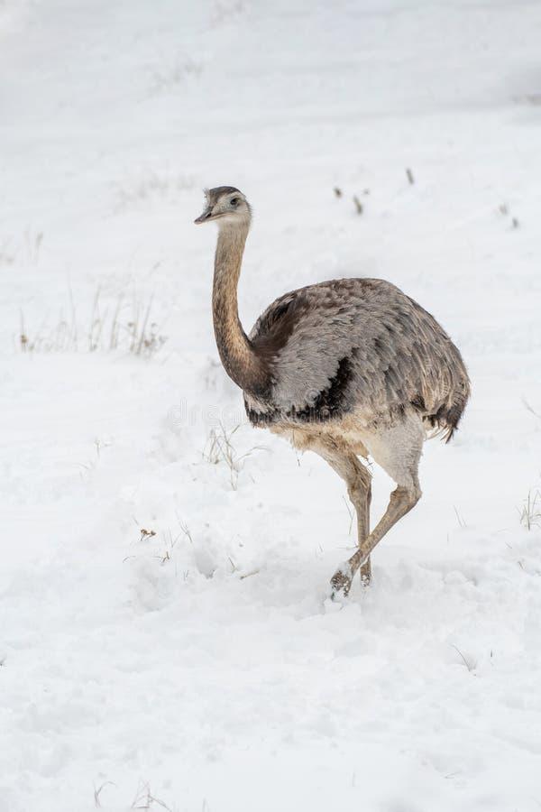 Nära övre foto av gemensamma emuDromaiusnovaehollandiae royaltyfria bilder