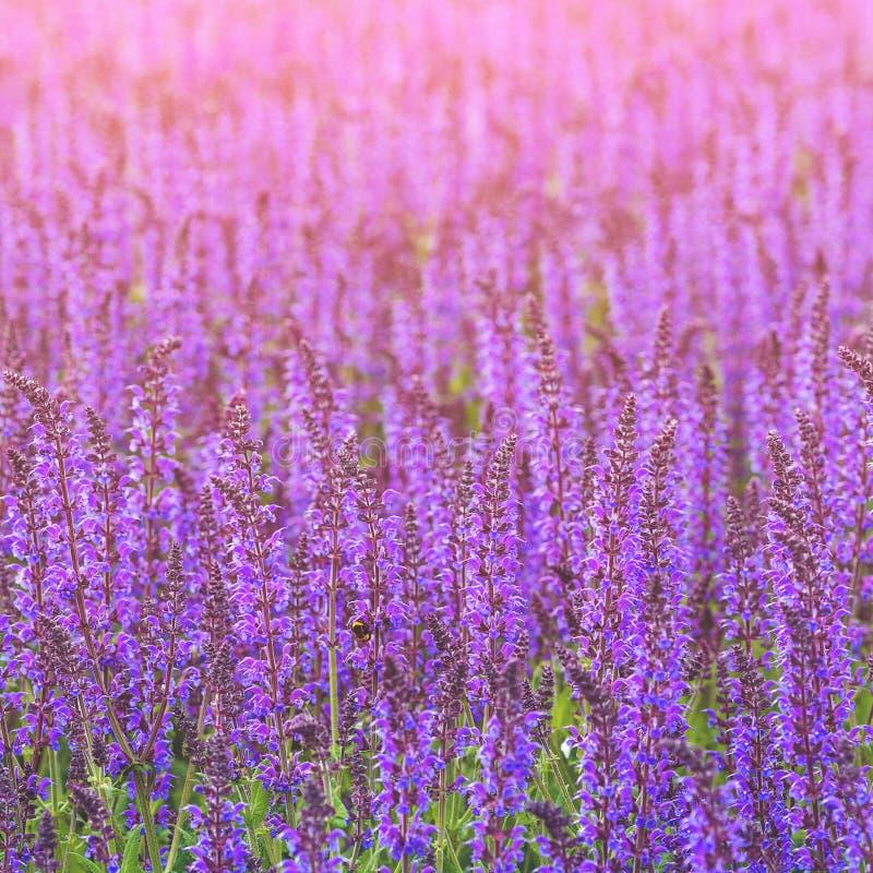 Nära övre foto med purpurfärgade blommor Blom- bakgrund för sommarsäsong Härlig violett rabatt arkivbilder