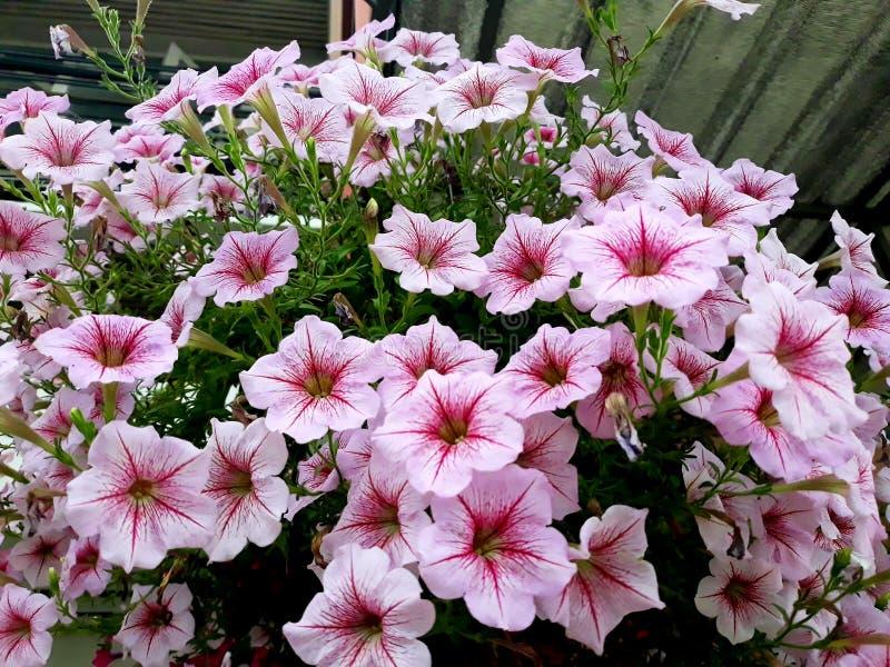 Nära övre grupp av den rosa petuniablomman på filialträd royaltyfri fotografi