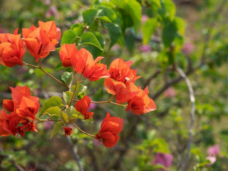Nära övre grupp av röda orange bougainvilleablommor som isoleras på naturbakgrund, selektiv fokus arkivbilder