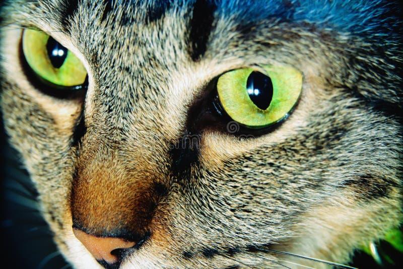 Nära övre huvud Tabby Cats fotografering för bildbyråer