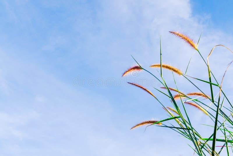 Nära övre makroskott av den härliga gräsblomman och blå himmel Sele arkivfoto