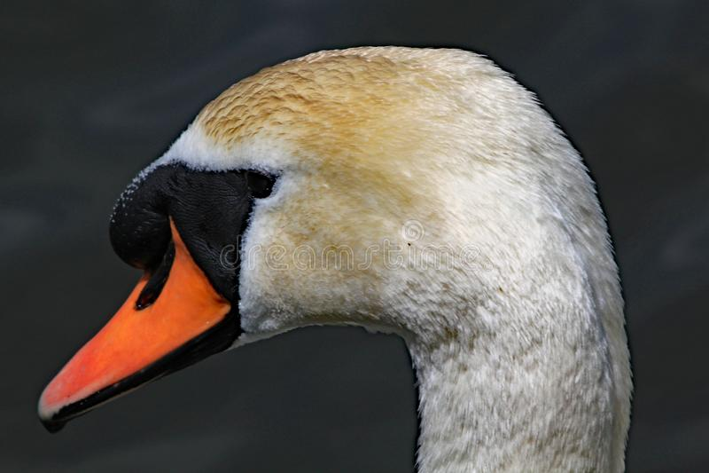 Nära övre profil av stum svans huvud royaltyfri fotografi