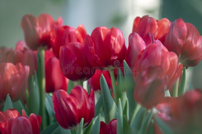 Nära övre röd blomma i trädgård royaltyfria foton