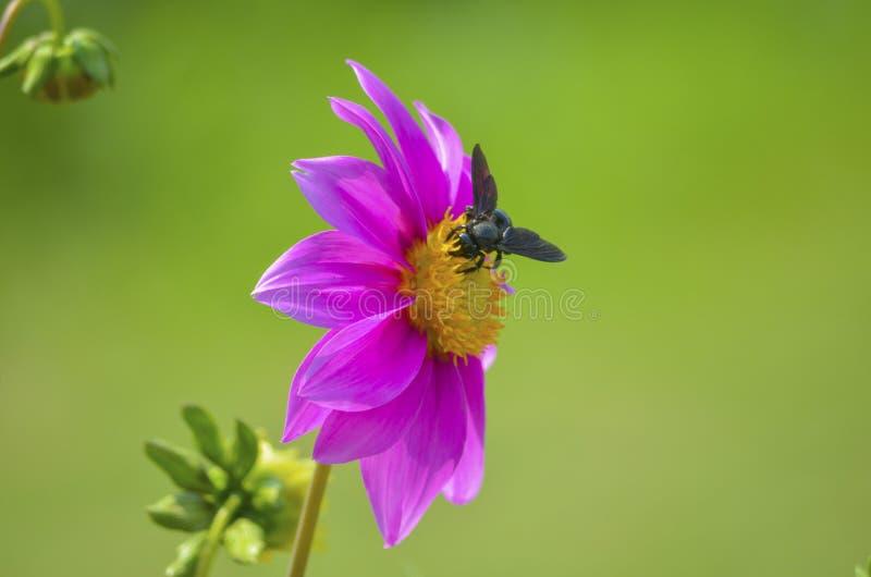 Nära övre sikt av biet på gul rabattmitt i en öppen trädgård royaltyfri foto