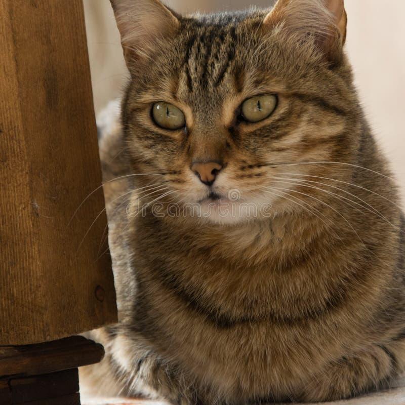 Nära övre sikt av den europeiska katten fotografering för bildbyråer