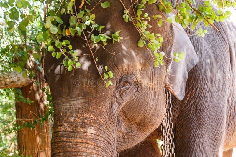 nära övre sikt av det lösa elefantanseendet under trädris, Asien, sri royaltyfri foto