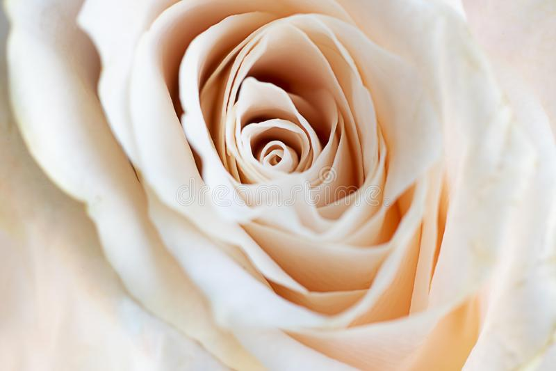 Nära övre sikt av en härlig vit ros med den pastellfärgade rosa tonen Makrobild av vitrosen Ny härlig blomma som uttryck av arkivfoto