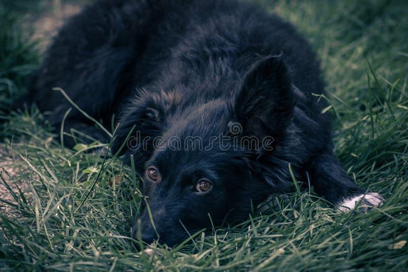 Nära övre sikt av en kroatisk fårhund för svart hund arkivfoto