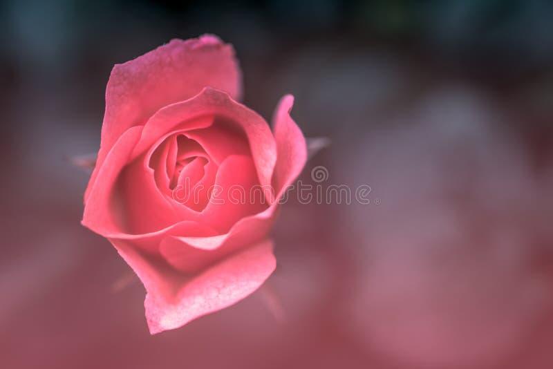 Nära övre sikt av en rosa blomma med rosa suddig bakgrund arkivbild