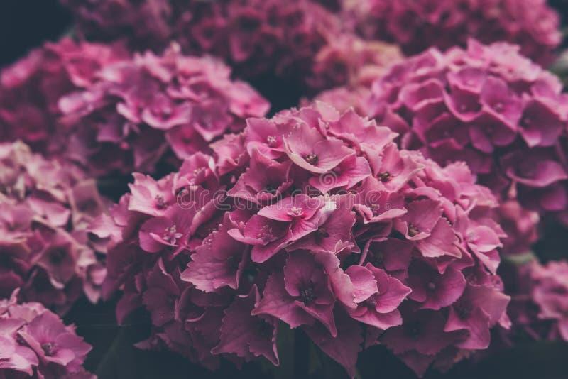 Nära övre sikt av en rosa vanlig hortensiablomma royaltyfria foton
