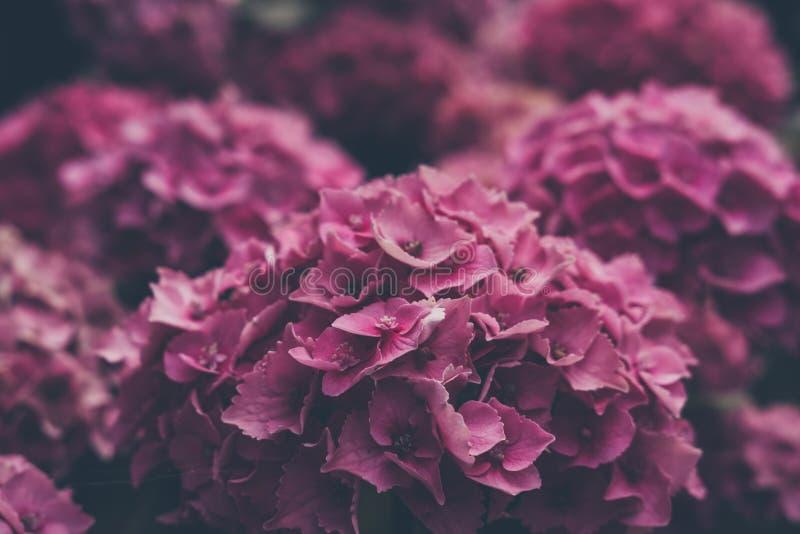 Nära övre sikt av en rosa vanlig hortensiablomma arkivbilder
