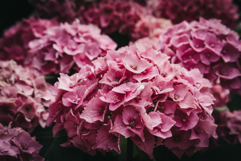 Nära övre sikt av en rosa vanlig hortensiablomma royaltyfri fotografi