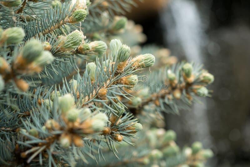 Nära övre sikt av filialer av granträdet med unga kottar arkivfoton