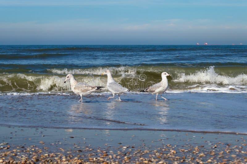 Nära övre sikt av jaktmat för tre seagull royaltyfri fotografi
