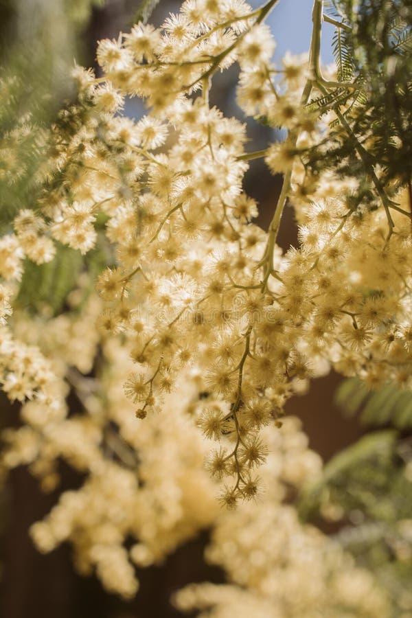 Nära övre sikt av mimosablomman i blom i solljuset Akaciadealbata arkivfoto