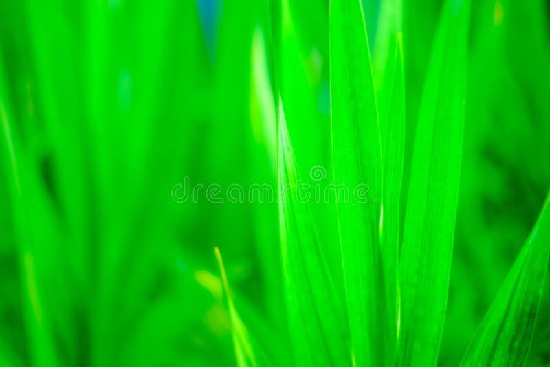 Nära övre sikt av nytt gräs med suddig bakgrund fotografering för bildbyråer